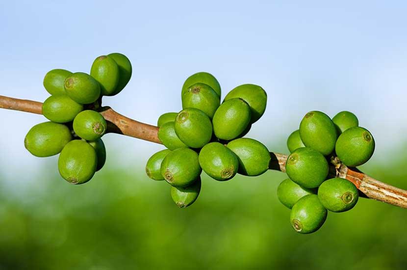 Zielona kawa to te ziarna kawy, które nie były jeszcze palone