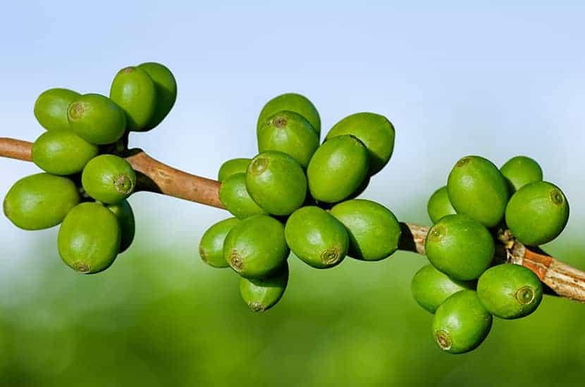 Zielona kawa działa bezpośrednio na metabolizm tłuszczów.