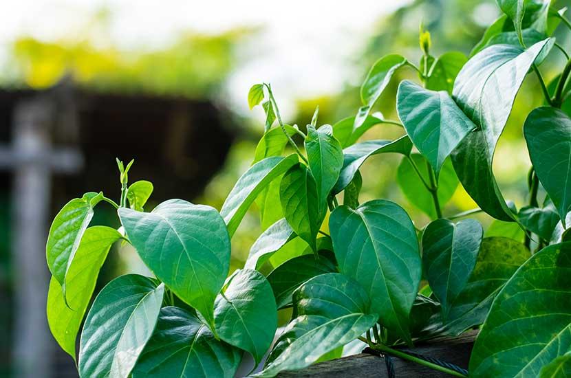 Gymnema sylvestre zawiera związki o właściwościach zapobiegających otyłości.