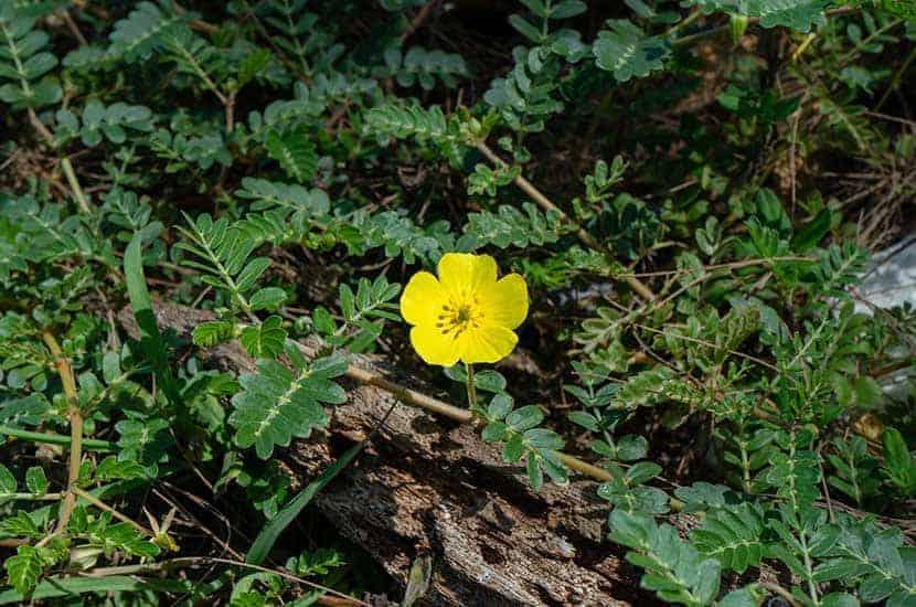Znana również jako łopian, ta pełzająca roślina może pomóc zwiększyć libido
