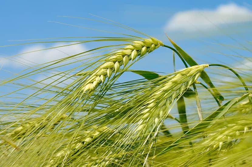 Zielony jęczmień jest bogaty w składniki odżywcze, które mogą bezpośrednio wpływać na metabolizm.
